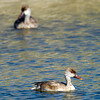 Red-crested Pochard (Netta rufina) at Gazli, Uzbekistan