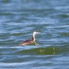 Great Crested Grebe (Podiceps cristatus) at Nukus Airport Lake, Nukus, Uzbekistan
