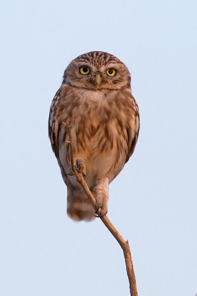 Little Owl (Athene noctua) at Chuqur-qaq, Near Muynak, Uzbekistan