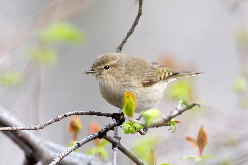 Common Chiffchaff (Phylloscopus collybita) at Zarkent, Uzbekistan