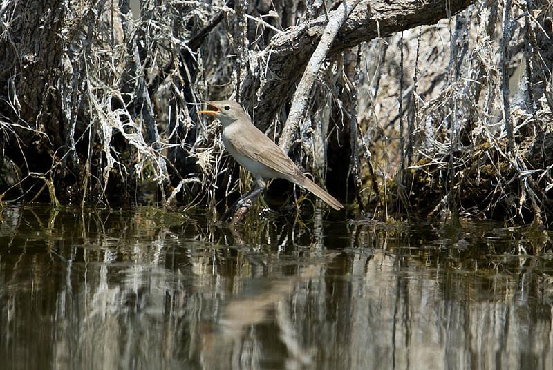 Sykes's Warbler (Hippolais rama) at Gazli, Uzbekistan