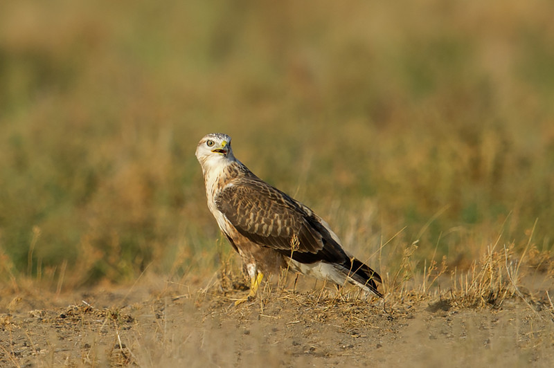 Long-legged Buzzard (Buteo rufinus) at Kyzl-Kum, Nuratau, Uzbekistan