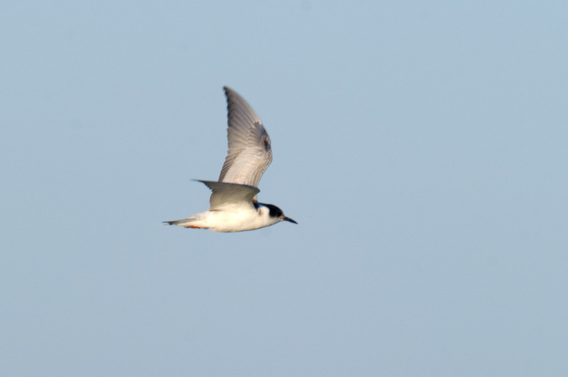Common Tern (Sterna hirundo) at Khorezm Fish Farm, Khiva, Uzbekistan