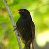 Eurasian Blackbird / Чёрный дрозд (Turdus merula) at Yangiabad [3rd May 2015]