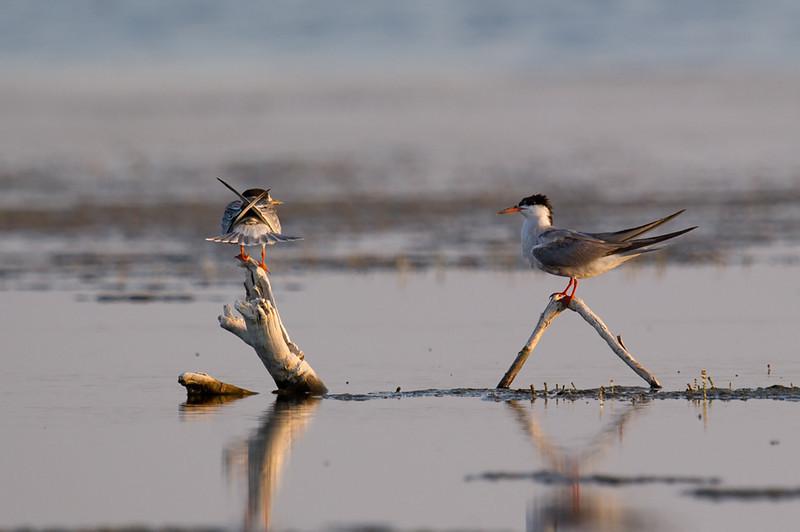 Common Tern (Sterna hirundo) at Aydar Lake, Nuratau, Uzbekistan