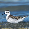 Red-Necked Phalarope (Phalaropus lobatus) at Nukus Airport Lake, Nukus, Uzbekistan