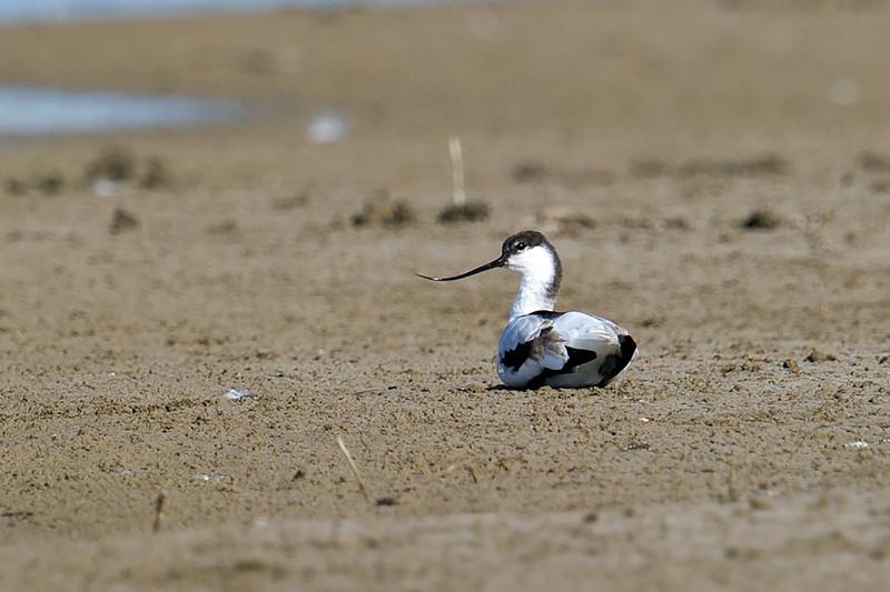 Pied Avocet (Recurvirostra avosetta) at Muynak Lake, Muynak, Uzbekistan