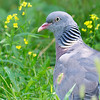 Common Wood Pigeon (Columba palumbus) at Asraf, Nuratau, Uzbekistan