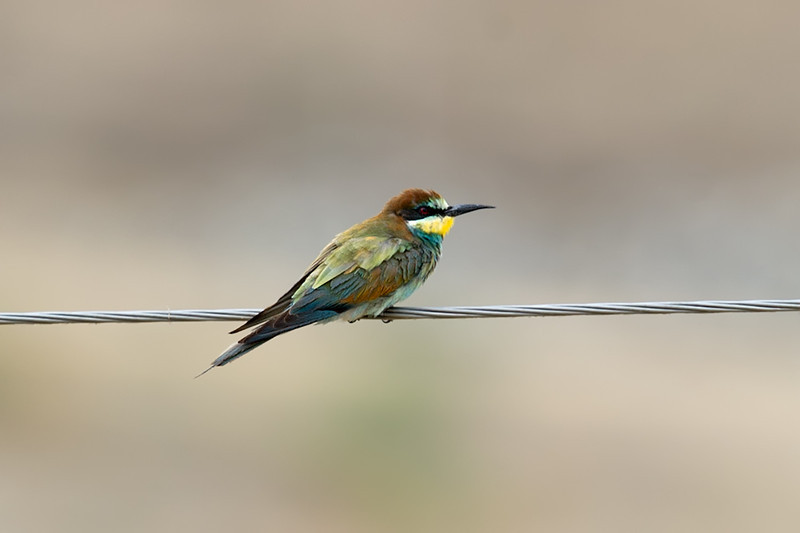 Documentation Shot: European Bee-eater (Merops apiaster) at Zaamin National Park, Uzbekistan