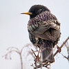 Common Starling (Sturnus vulgaris) at Zarkent, Uzbekistan