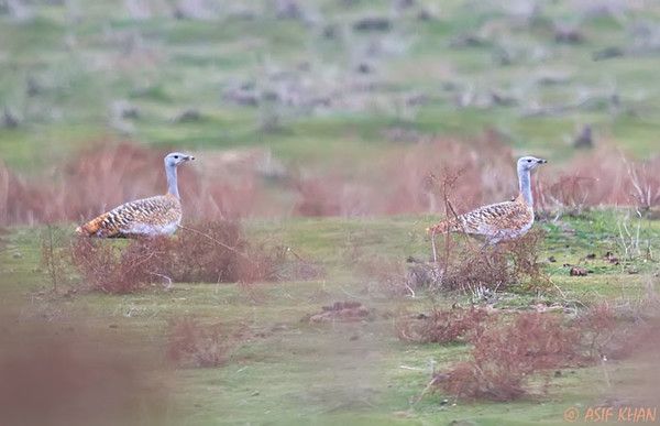 Great Bustard / дрофа (Otis tarda) at Aydarkul