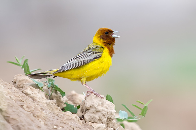 Red-headed Bunting (Emberiza bruniceps) at Dostlik, Uzbekistan