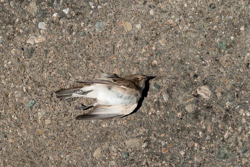 ROADKILL:  Spotted Flycatcher at Aktau Mountains, Zarafshan, Uzbekistan