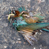 ROADKILL: European Bee-eater (Merops apiaster) at Zaamin National Park