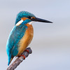Common Kingfisher / Обыкновенный зимородок (Alcedo atthis) at Uzgarish, Salar
