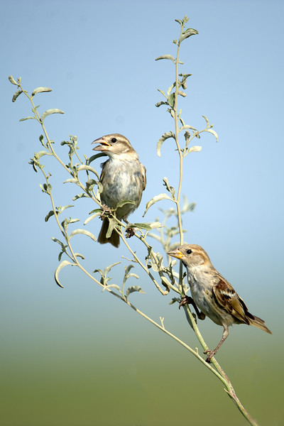 Indian Sparrow (passer domesticus indicus) at Kurgantepa, Uzbekistan