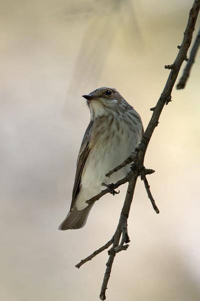 Spotted Flycatcher (Muscicapa striata) at Asraf, Nuratau, Uzbekistan