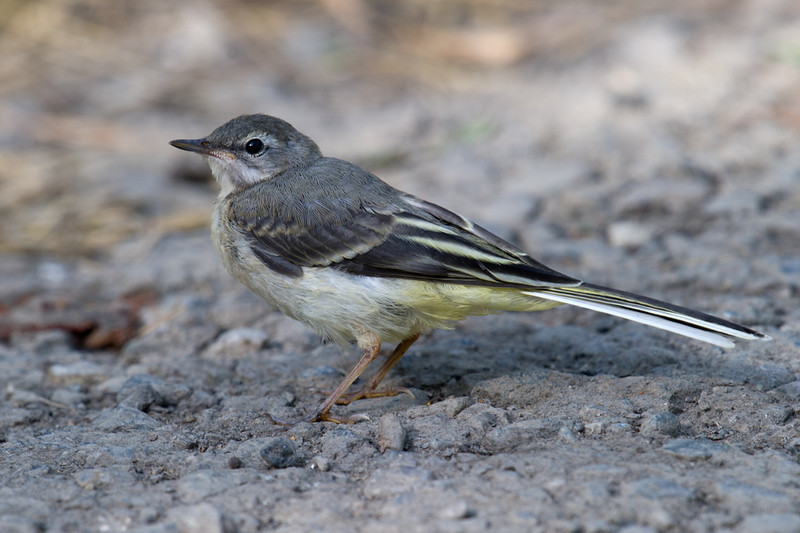 Juvenile Gray Wagtail (Motacilla cinerea) at Zaamin National Park, Uzbekistan