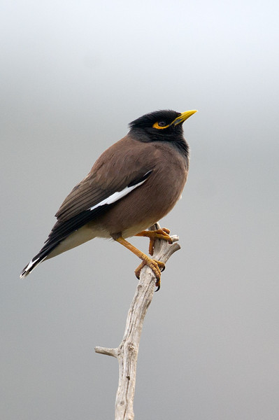Common Myna (Acridotheres tristis) at Zarkent, Uzbekistan