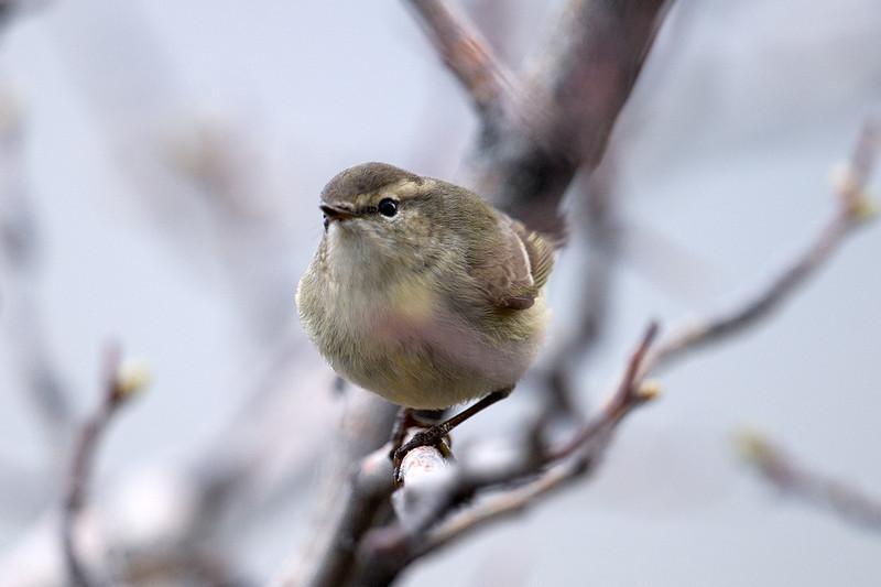 Documentation Shot: Hume's Warbler (Phylloscopus humei) at Zarkent, Uzbekistan