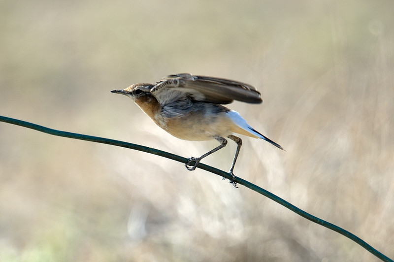 Northern Wheatear (Oenanthe oenanthe) at Gazli, Uzbekistan