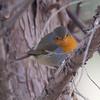 DOCUMENTATION SHOT: European Robin (Erithacus rubecula) at Tashkent Zoo, Tashkent, Uzbekistan