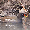 Common Moorhen / камышница (Gallinula chloropus) at Uzgarish, Salar