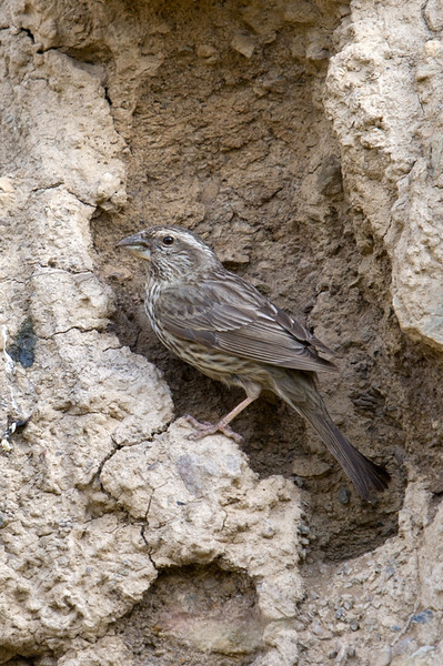 Blyth's Rosefinch (Carpodacus grandis) at Zaamin National Park, Uzbekistan