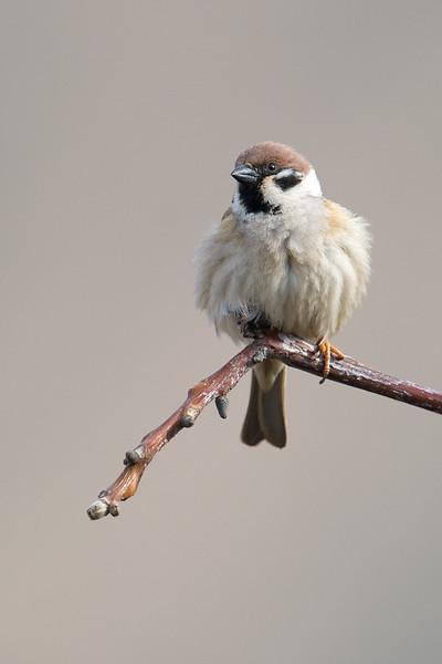 Eurasian Tree Sparrow (Passer montanus) at Zarkent, Uzbekistan