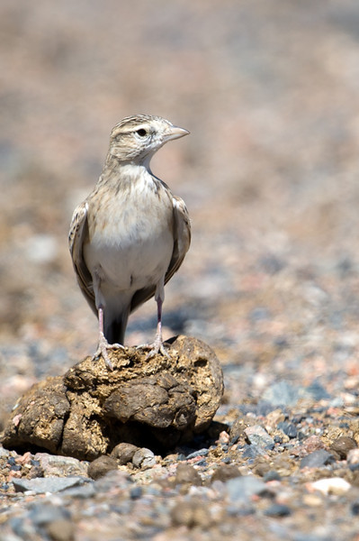 Greater Short-toed Lark (Calandrella brachydactyla) at Aktau Mountains, Zarafshan, Uzbekistan