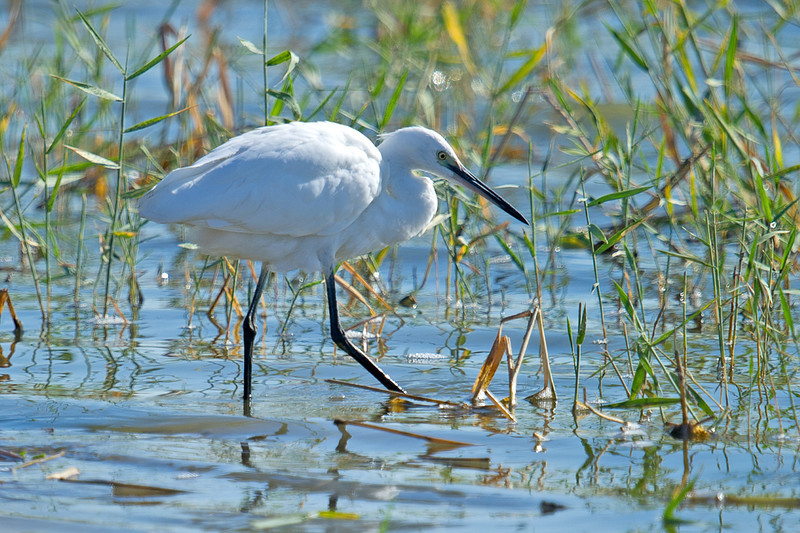 Little Egret (Egretta garzetta) at Khorezm Fish Farm, Khiva, Uzbekistan