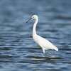 Little Egret (Egretta garzetta) at Muynak Lake, Muynak, Uzbekistan