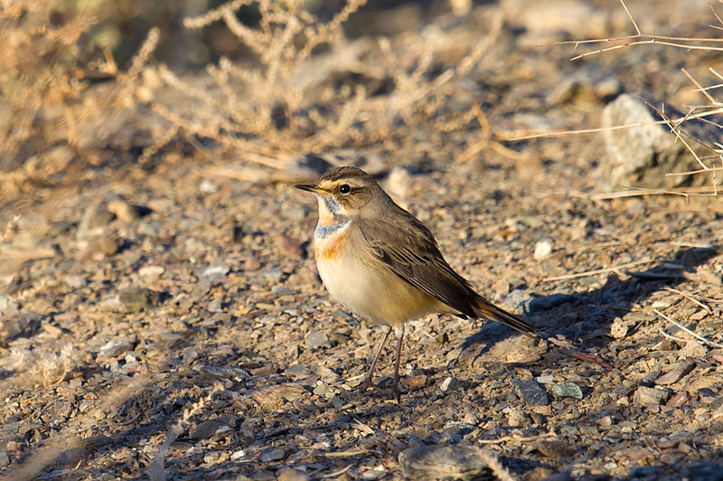 Bluethroat (Luscinia svecica) at Aktau Mountains, Zarafshan, Uzbekistan