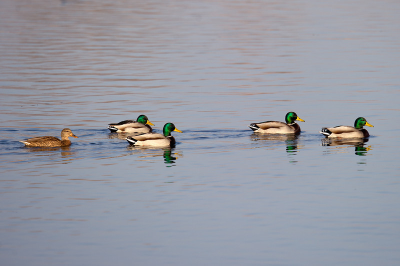 Mallard or or Wild Duck (Anas platyrhynchos) at Tashkent Lakeside Golf Course, Tashkent, Uzbekistan