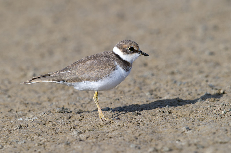 Little Ringed Plover (Charadrius dubius) at Muynak Lake, Muynak, Uzbekistan