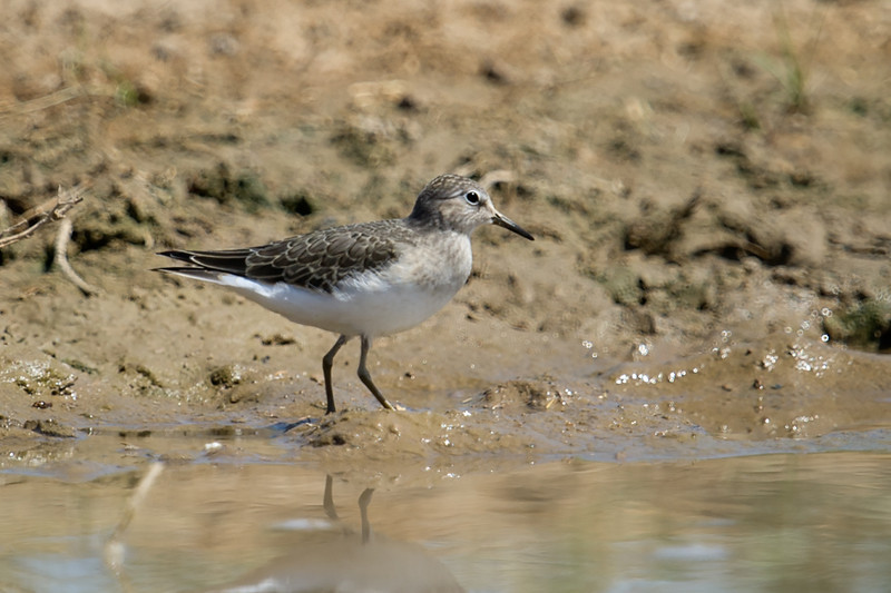 Temminck's Stint (Calidris temminckii) at Kyzl-Kum, Nuratau, Uzbekistan