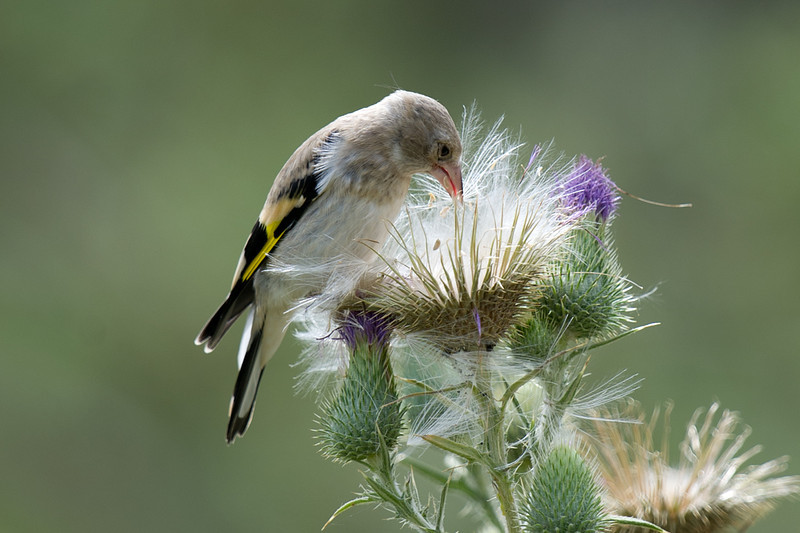 Juvenile Grey-capped Goldfinch (Carduelis caniceps) at Zaamin National Park, Uzbekistan