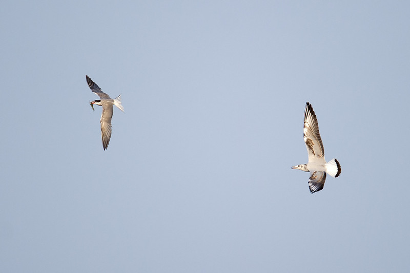 Common Tern (Sterna hirundo) and Black Headed Gull (Chroicocephalus ridibundus) at Aydar Lake, Nuratau, Uzbekistan