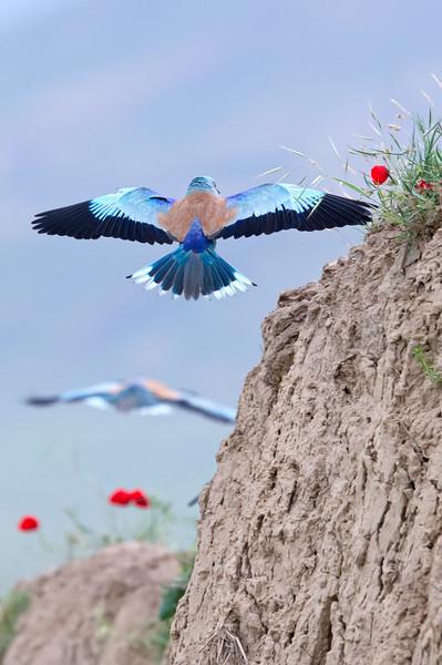 European Roller (Coracias garrulus) at Dostlik, Uzbekistan