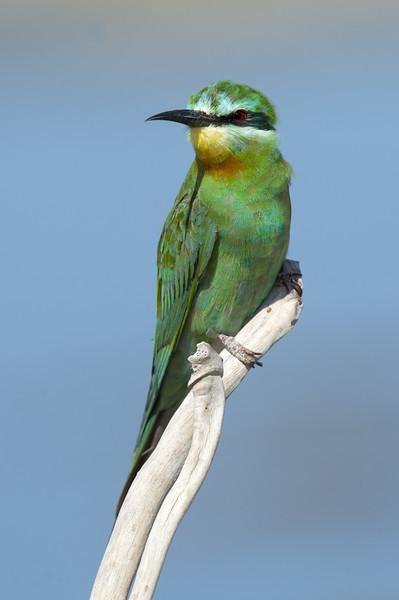 Blue-cheeked Bee-eater (Merops persicus) at Aydar Lake, Nuratau, Uzbekistan