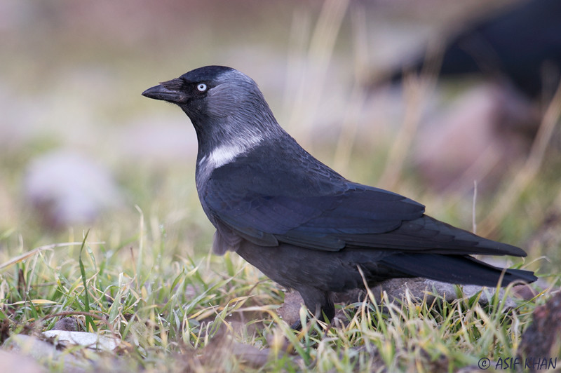 Jackdaw / галка (Corvus monedula) at Angren