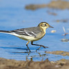 Citrine Wagtail (Motacilla citreola)  at Aktau Mountains, Zarafshan, Uzbekistan