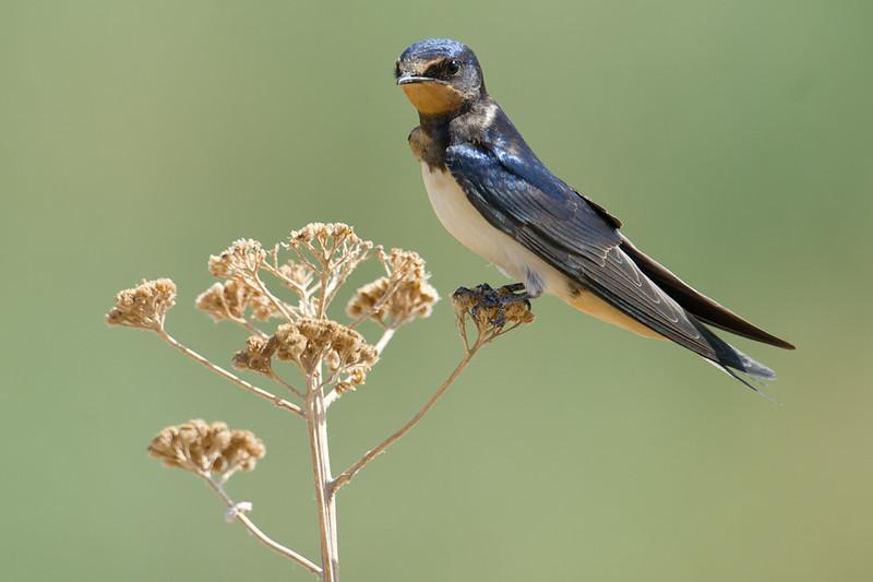 Barn Swallow (Hirundo rustica) at Khulkar, Jizzakh, Uzbekistan