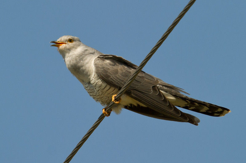 Documentation Shot: Eurasian Cuckoo (Cuculus camorus) at Dostlik, Uzbekistan