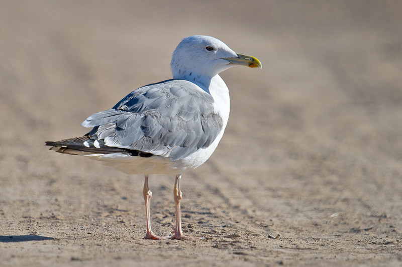 Caspian Gull (Larus cachinnans) at Khorezm Fish Farm, Khiva, Uzebkistan