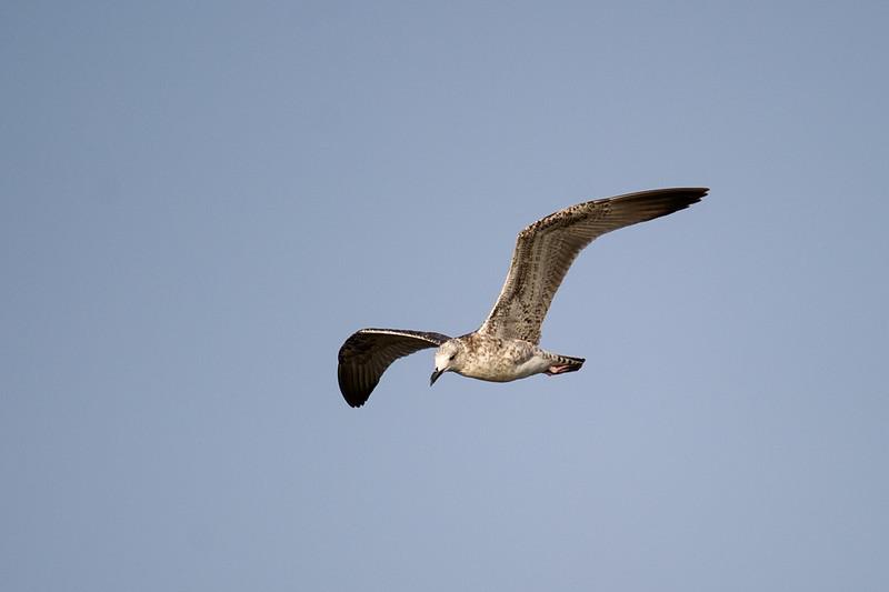 Caspian Gull (Larus cachinnans) at Aydar Lake, Nuratau, Uzbekistan