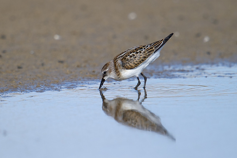 Little Stint (Calidris minuta) at Muynak Lake, Muynak, Uzbekistan