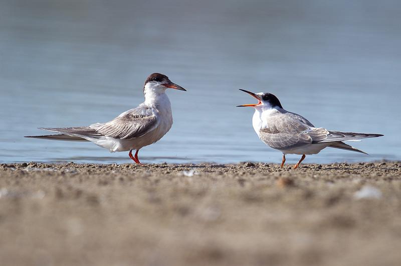 Common Tern (Sterna hirundo) at Muynak Lake, Muynak, Uzbekistan
