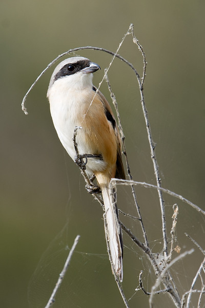 Long-tailed Shrike (Lanius schach) at Zaamin National Park, Uzbekistan