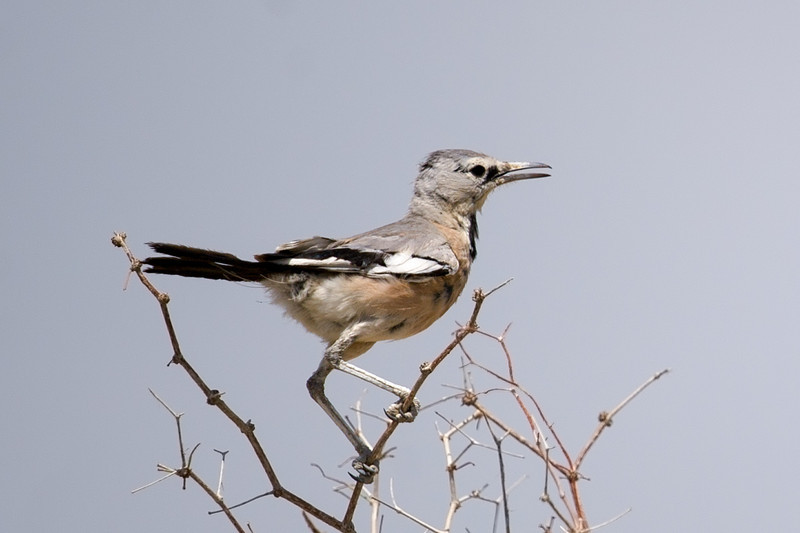 Pander's Ground Jay (Podoces panderi) at Gazli, Uzbekistan